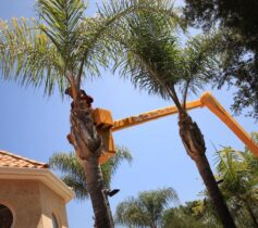 Palm Tree Trimming-Lemon Grove CA Tree Trimming and Stump Grinding Services-We Offer Tree Trimming Services, Tree Removal, Tree Pruning, Tree Cutting, Residential and Commercial Tree Trimming Services, Storm Damage, Emergency Tree Removal, Land Clearing, Tree Companies, Tree Care Service, Stump Grinding, and we're the Best Tree Trimming Company Near You Guaranteed!